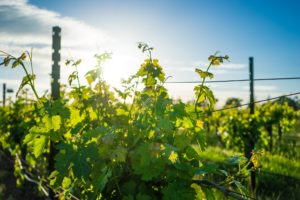 vineyard-1938926_1920